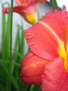 Lilies blog